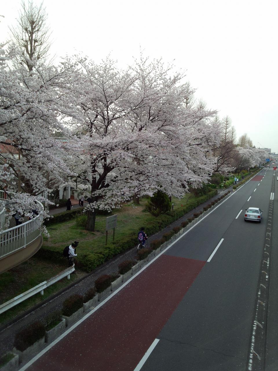 大学通りの桜並木