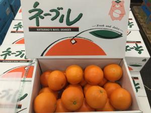 ネーブルオレンジ、始まりました!