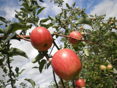 りんごの入荷が始まっています!