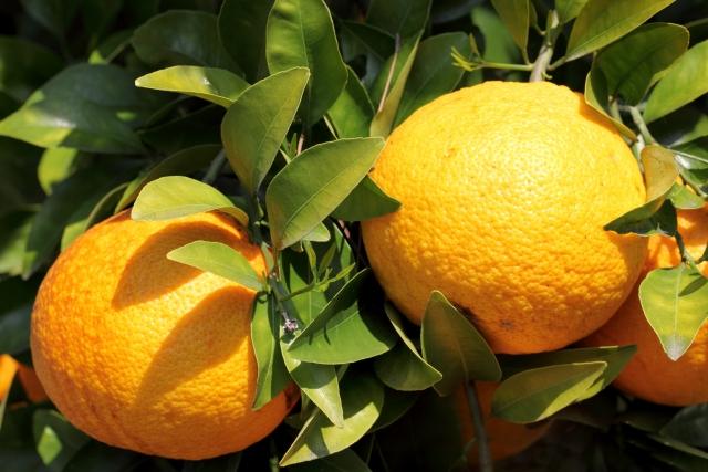 オススメ柑橘『八朔』