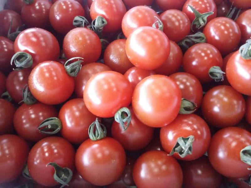 ミニトマト 「麗」